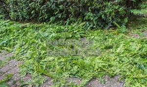 Het jonge snoeisel van Taxus Baccata struiken en bomen vormt een waardevolle grondstof voor de productie van het chemotherapeutisch middel Taxol dat gebruikt wordt bij de behandeling van kanker. Verschillende Nederlandse gemeenten nemen deel aan de inzameling ervan.